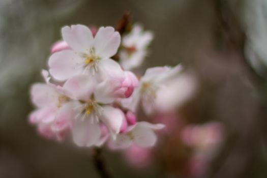 Soft focus Cherry Blossom