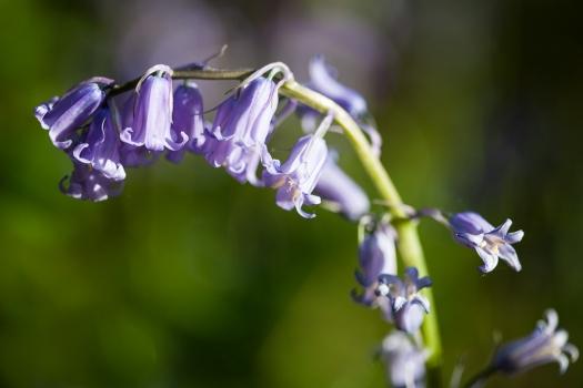 Bluebells & Wild Garlic