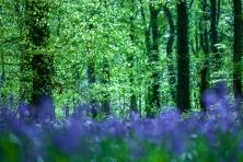 Manor Abbey Wood Bluebells-4115