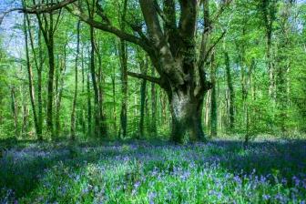 Manor Abbey Wood Bluebells-4219